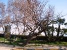 ClaudioM albero storto Via Panoramica_1